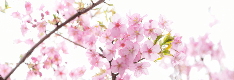 お花見のベストタイミングは「温度」でわかる? ウェザーニュースの気象予報士に聞く、桜の開花予想の法則